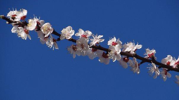 Flower, Cherry, Branch, Tree, Apricot, Season, Color