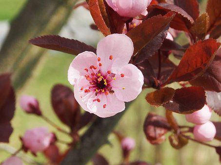 Japanese Plum, Spring, Blossom, Bloom, Pink, Small