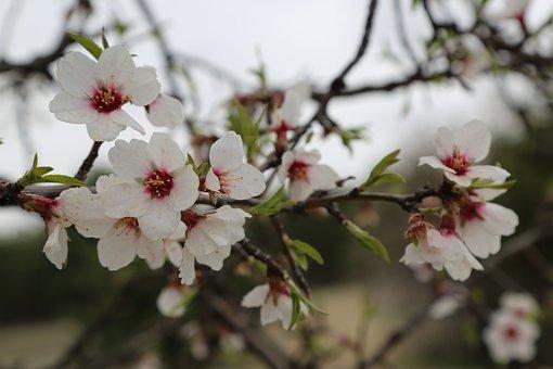 Flower, Almond, Tree, Plant, Blooming, Spring
