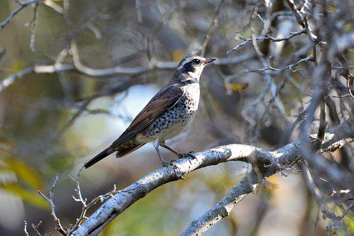 Natural, Bird, Wild Animals, Outdoors, Wood, Thrush