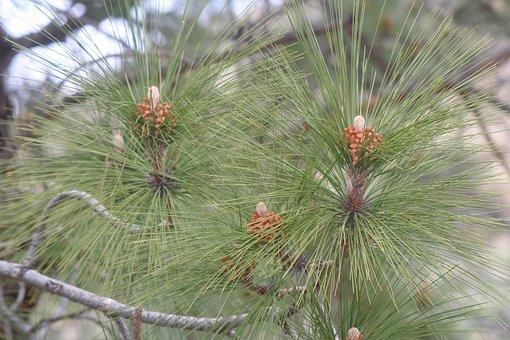 Nature, Needle, Tree, Pine, Flora, Outdoors, Season