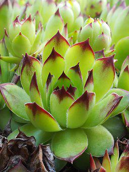 Cactus, Tropical, Green, Plant