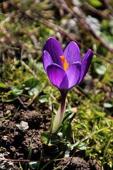 Spring, One, Krokus, Violet, Nature, Flower, Plant