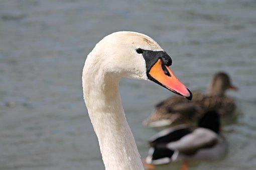 Swan, Mute Swan, Cygnus Olor, Neck, Bill, White