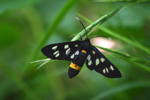 Butterfly, Insect, Nature, Wing, Outdoors, Amata Phegea