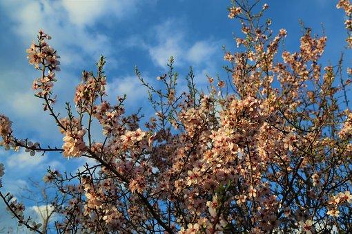 Tree, Almond, Nature, Blue Sky, Spring