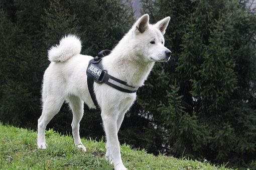 Canis Lupus Familiaris, Mammalia, Canidae, Animalia
