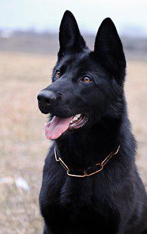 Black German Shepherd, Dog, Portrait