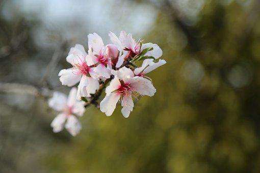 Flower, Nature, Plant, Tree, Almond, Blooming, Flowers