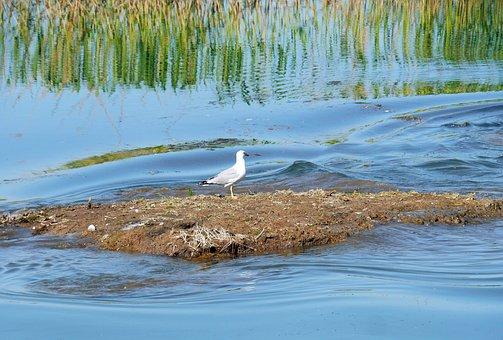 Island Residents, Seagull, Wetland, Flow, Danube Delta