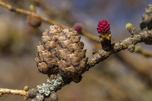 Larch Flower, Larch, Conifer, Tree, European Larch