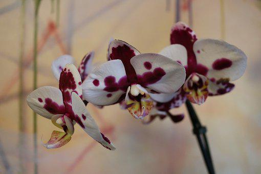 Flower, Nature, Flora, Blooming, Color, Orchid