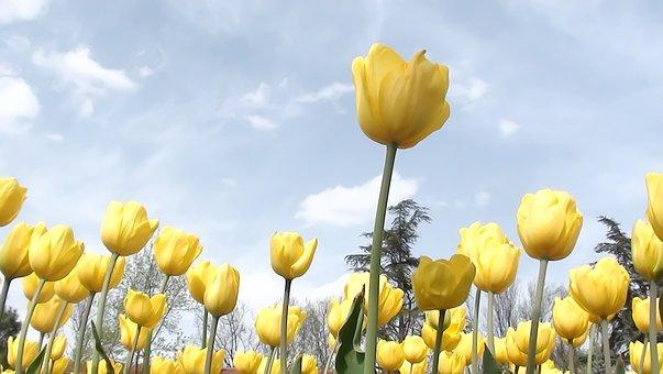 Nature, Flower, Tulip, Plant, Live, Area, Summer