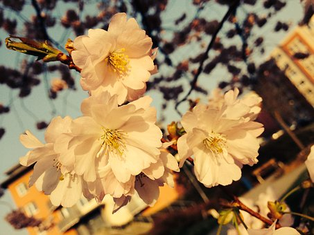 Flowers, A Blossoming Tree, Tree, Apple-blossom