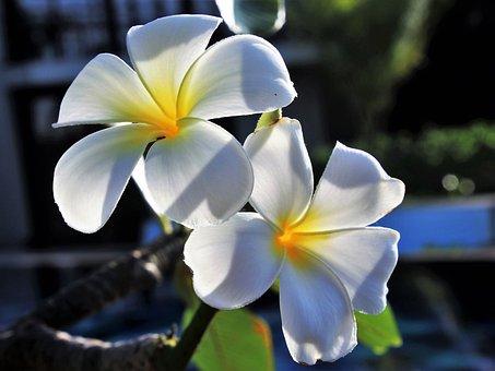 Flower, Nature, Plant, Petal, Garden, Frangipani, Www
