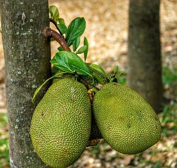 Jackfruit, Fenne, Fruit, Native, Southeast, India