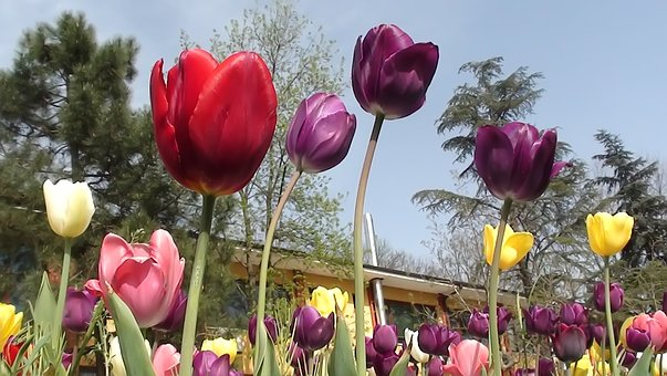 Flower, Nature, Tulip, Plant, Garden, Leaves, Color