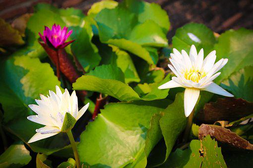 Lotus, Flower