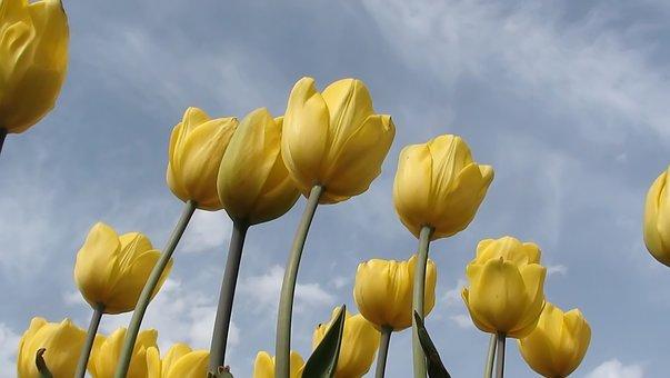 Nature, Plant, Flower, Tulip, Live, Leaves, Summer