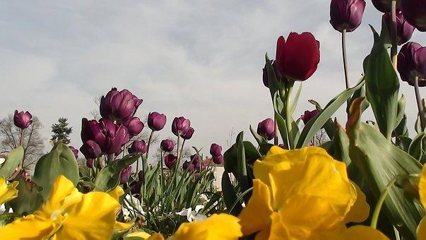 Flower, Nature, Plant, Tulip, Leaves, Summer, Garden