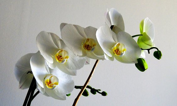 Flower, Nature, Plant, Orchid