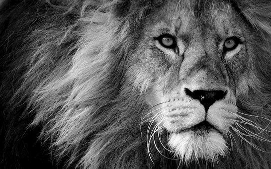 Lion, Predator, Black And White, Dangerous, Mane, Cat