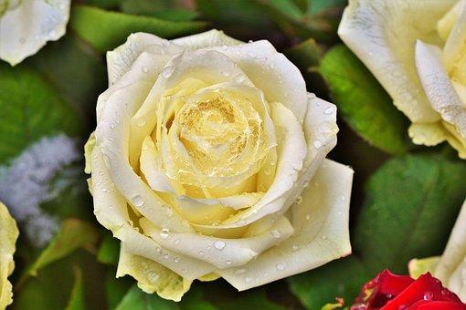 Rose, Rose Bloom, Pale Yellow Rose, Fashion Rose