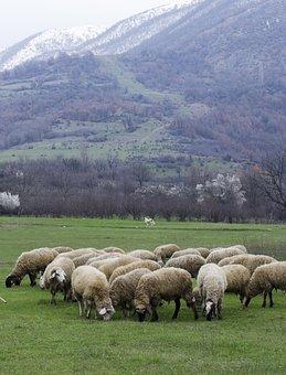 Sheep, Grazing, Green Grass, Meadow, Nature, Field