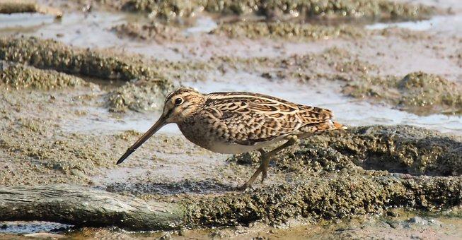 Nature, Wildlife, Bird, Water, Animal, Wild, Shorebird