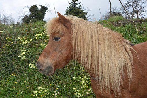Shetland Pony, Small Horse, Hair Washed, Color Chestnut