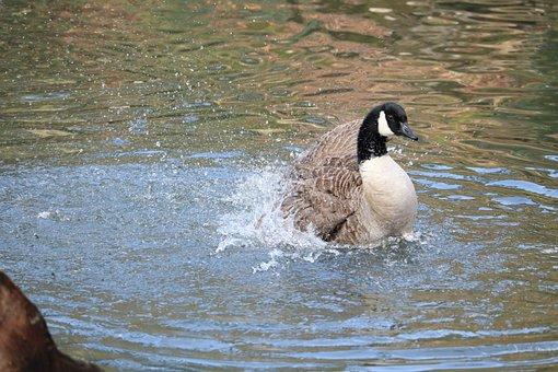 Waters, Bird, Nature, Animal World, Animal, Swim, Wild