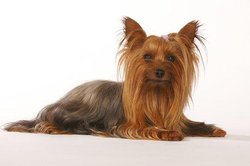 Dog, Cute, Pet, Animal, Terrier, Hairy, Domestic