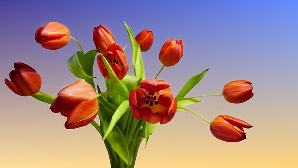Tulip Bouquet, Bouquet, Tulips, Red, Isolated, Spring