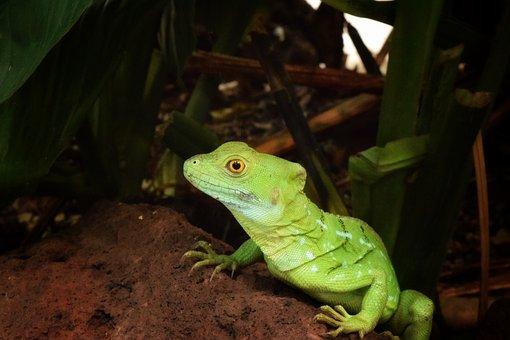Reptile, Wildlife, Lizard, Nature, Tropical, Animal