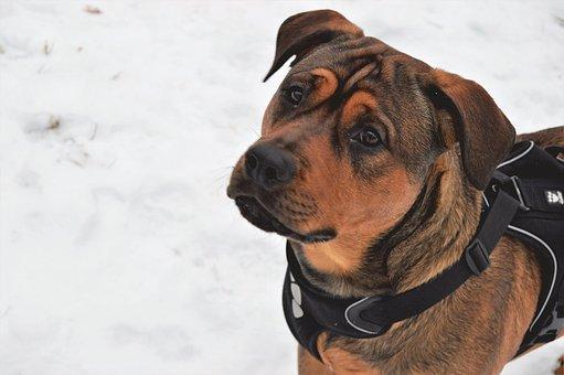 Dog, Animals, Cute, Pet, Rottweiler, Amstaff