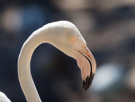 Greater Flamingo, Portrait, Eye, Looking, Bird, Avian