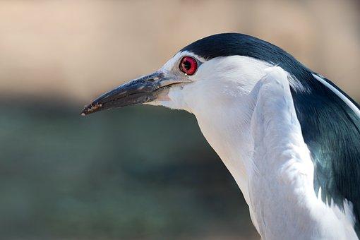 Black-crowned Night-heron, Portrait, Eye, Looking, Bird
