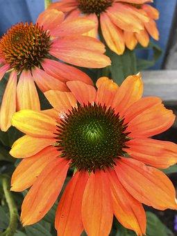 Flower, Plant, Nature, Garden, Summer, Coneflower