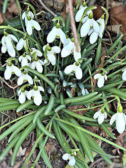 Flowers, Snowdrop, Early Bloomer, White Flowers, Bell