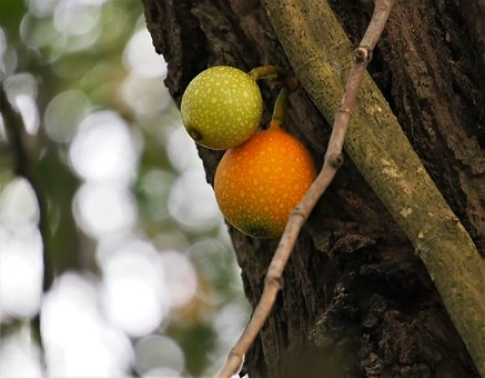 Tree, Fruit, Nature, Branch, Food, Outdoors, Hanging