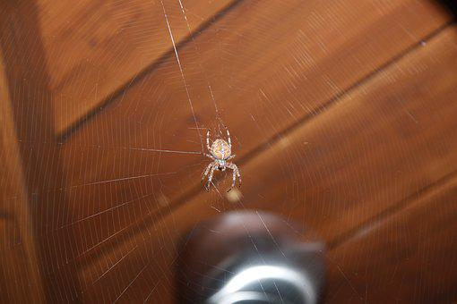 Spider, Web, Insect, Crusader, Network, Garden, Food