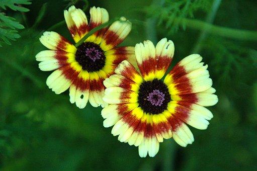 Nature, Plant, Summer, Flowers, Garden, Margriet