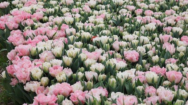 Flower, Plant, Nature, Tulip, Garden, Bouquet De Fleurs