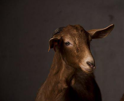 Mammalia, Portrait, Animalia, One, Goat, Livestock