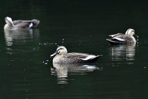 Bird, Duck, Lake, Waters, Natural, Spot-billed Duck