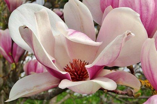 Flower, Magnolia, Garden, Single Flower, Close, Pink