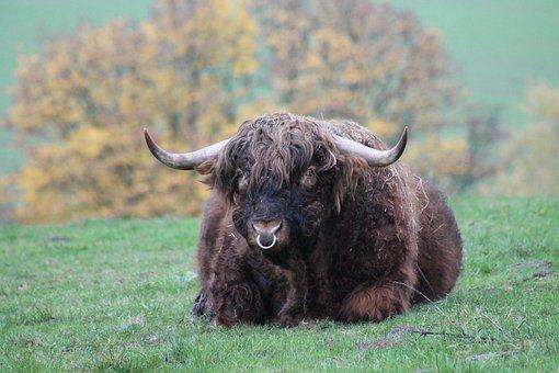 Animal, Beef, Bull, Gellowe, Grass, Nature, Mammal