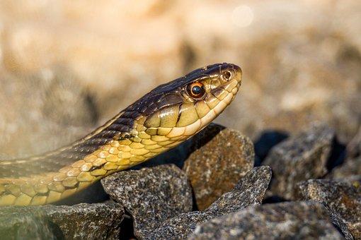Nature, Snake, Reptile, Animal, Wildlife, Closeup
