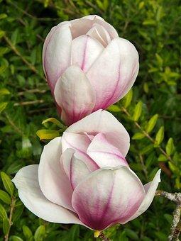 Magnolia, Flower, Plant, Nature, Spring, Purple, Pink