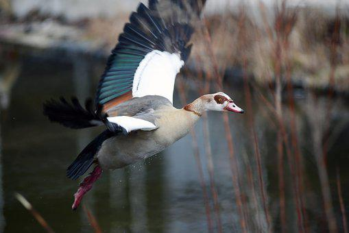 Nilgans, Goose, Bird, Animal World, Nature, Flight
